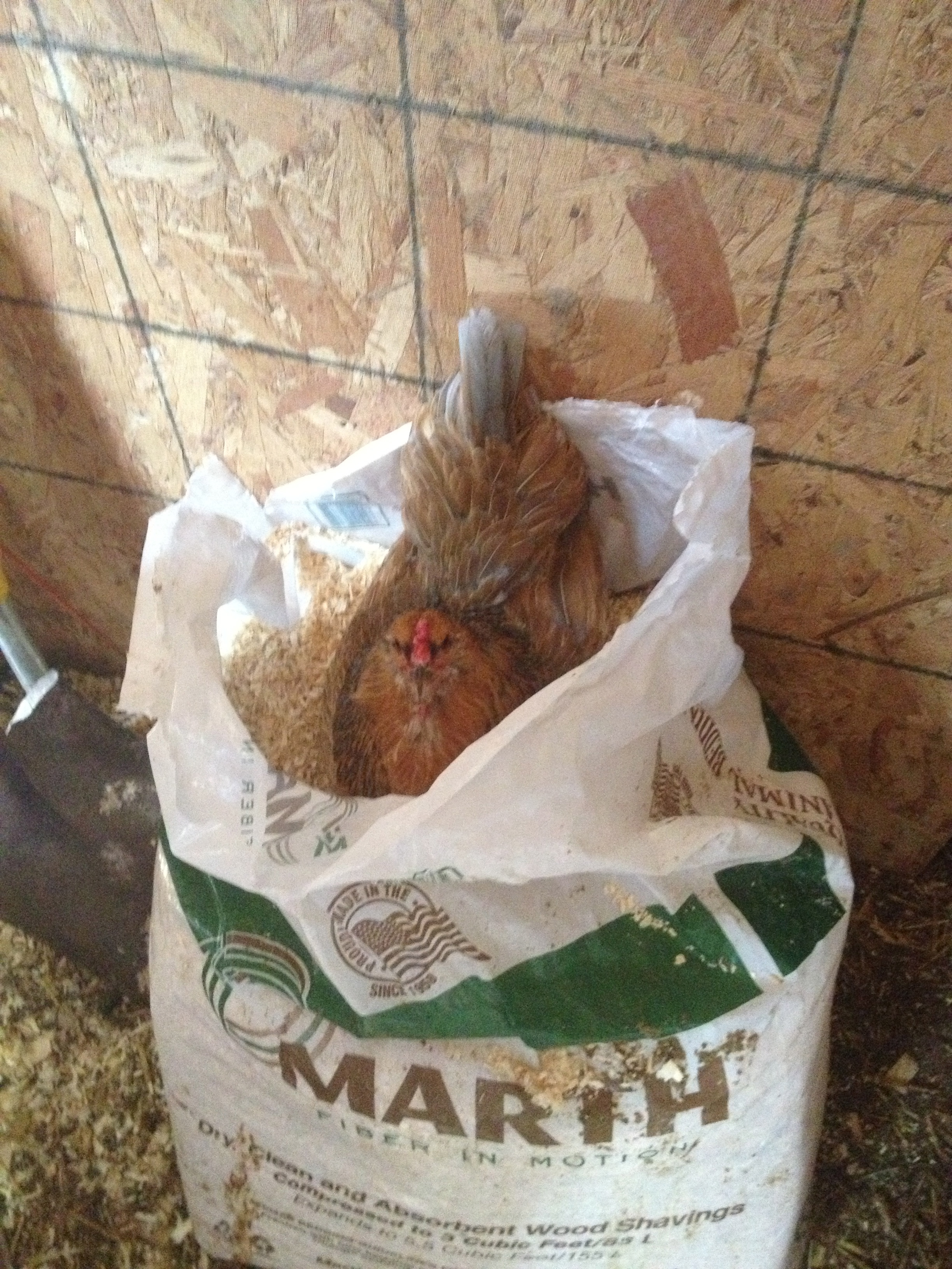 Mabel, our Americauna hen, found a great place to lay in a bag of wood shavings.